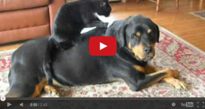 Cat giving massage to a Rottweiler